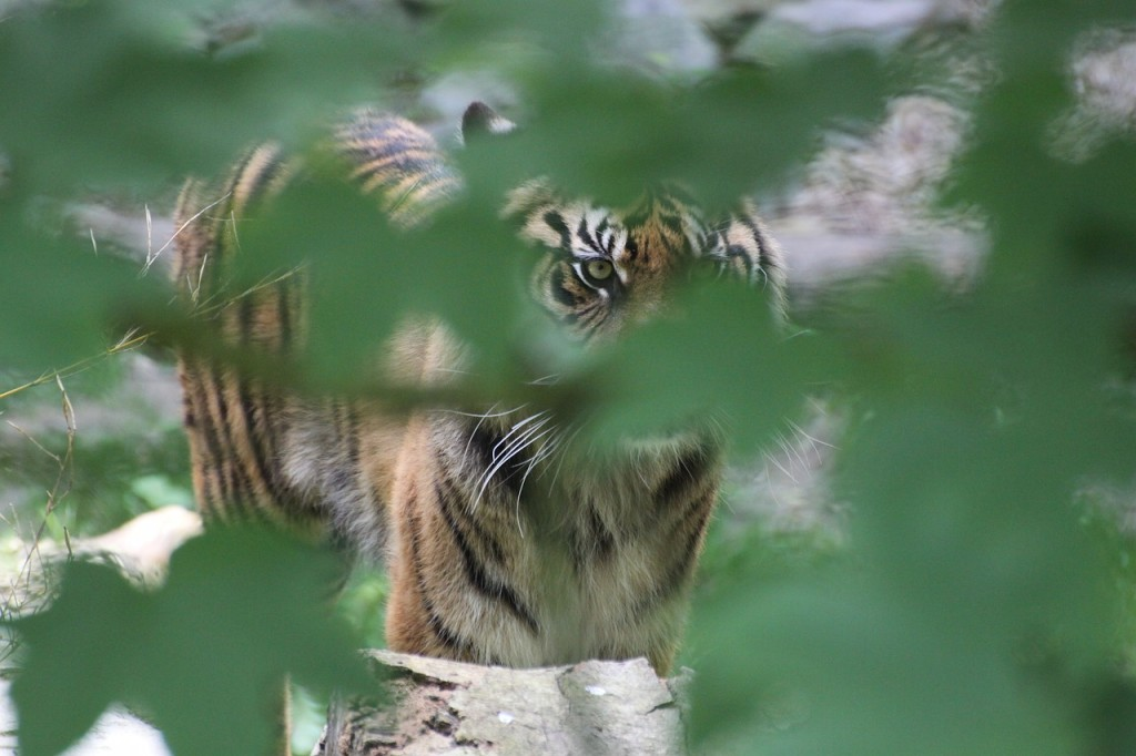 tiger obscured by foliage